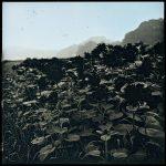 2017-08-04, Sunflowers, Iitate village, Fukushima