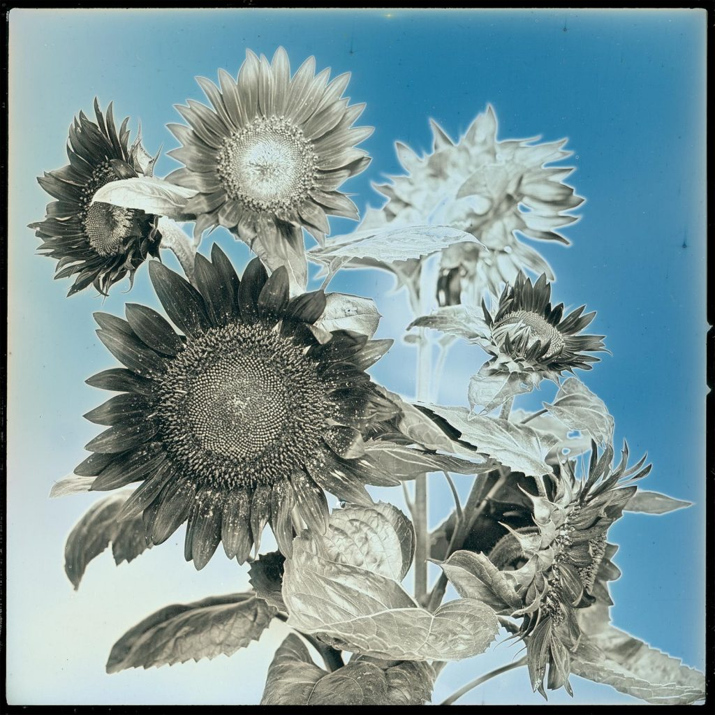 2017-08-05, The sunflowers of Iitate village