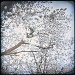 Daily D-type: 24 Mar 2021, Sakura (Cherry Blossoms), Takatsu, Kawasaki